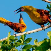 Ausstellung 2013: Parástirnvogel Psarocolius yuracares
