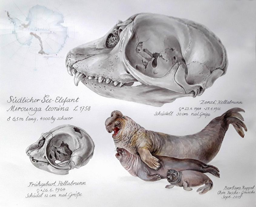 Ausstellung 2015: Ruppel, Seeelefant