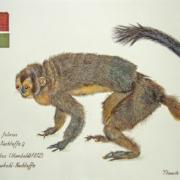 Ausstellung 2017: Östlicher Graukehl-Nachtaffe, Thassilo Franke