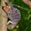 Furcifer voeltzkowi