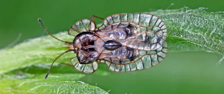 Galeatus affinis