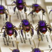 Prachtbienen