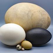 Größenvergleich Eier