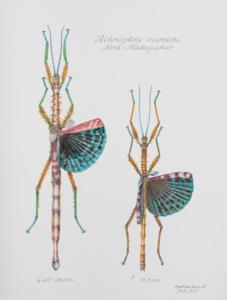 Achrioptera maroloko