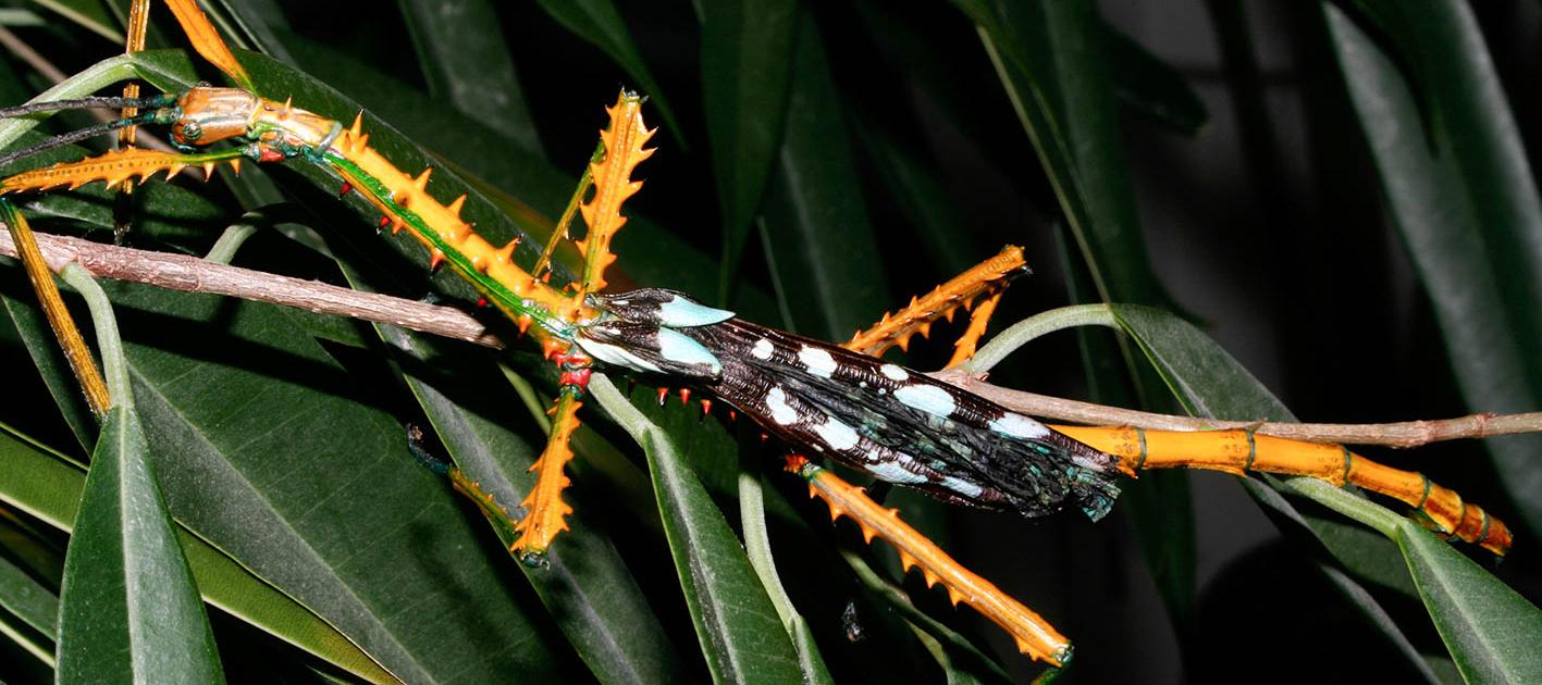 Achrioptera maroloko, Männchen
